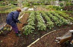 """<p>Un londinese coltiva il suo """"allotment"""", gli appezzamenti affittati per una somma quasi irrisoria per praticare l'orticoltura. La foto è stata scattata il 28 maggio scorso. REUTERS/Alessia Pierdomenico</p>"""