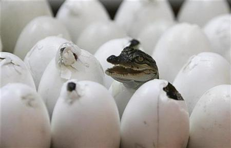 A crocodile hatches during a crocodile hatching festival at Sriracha Tiger Zoo, 120 km (74 miles) east of Bangkok May 13, 2008. Baby crocodiles start chatting to one another and to their mothers just before they hatch, perhaps signaling that it is time to be born, French researchers reported on Monday. REUTERS/Sukree Sukplang