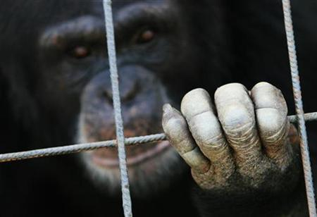 An ape looks out from a cage at a sanctuary outside Madrid in this June 15, 2006 file photo. REUTERS/Susana Vera/Files