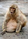 <p>Une cinquantaine de primates ont été mis à la diète par un zoo japonais après que certains d'entre eux étaient devenus tellement obèses qu'ils ne pouvaient plus se mouvoir. /Photo prise le 11 mai 2008/REUTERS/Kiyoshi Ota</p>