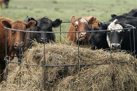 In this file photo cows eat on a farm in Lobos, 100km (62 miles) south-east of Argentina's capital Buenos Aires, September 22, 2007. Argentine scientists are taking a novel approach to studying global warming -- strapping plastic tanks to the backs of cows to collect their burps. REUTERS/Enrique Marcarian