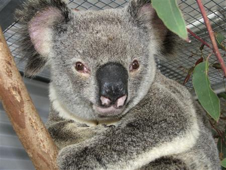 A male koala, named ''Ely 'Lucky' Grills'' is seen at the Australian Wildlife Hospital in Brisbane in this handout photo obtained July 15, 2008. Lucky, who cheated death after being hit by a car at 100 kmh (about 60 mph) and dragged with his head jammed through the vehicle grill for 12 kms (about 7 miles) is being dubbed Australia's luckiest marsupial. The eight-year-old male koala was struck by an unwitting motorist north of Brisbane and found only when the car stopped after being flagged down by another vehicle. REUTERS/Australian Wildlife Hospital/Handout