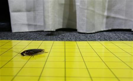 A cockroach is trapped on a sticky card after escaping from the race tracks during the Great Cockroach Derby in Singapore, August 10, 2006. REUTERS/Kimitsu Yogachi