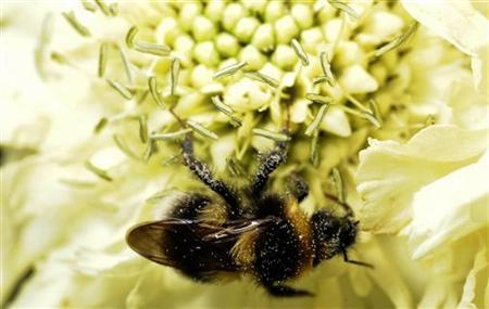 A bumble bee collects pollen from a flower in a garden near York, northern England, June 28, 2008. REUTERS/Nigel Roddis