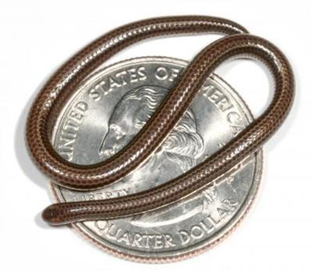 The snake named Leptotyphlops carlae, as thin as a spaghetti noodle, rests on a U.S. quarter in this undated handout image. Scientists have identified the world's smallest snake -- a reptile about 4 inches (10 cm) long and as thin as spaghetti that was found lurking under a rock on the Caribbean island of Barbados. REUTERS/Blair Hedges-Penn State/Handout