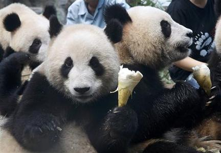 Pandas eat bamboo shoots in their enclosure as people visit the Beijing Zoo ahead of the Beijing 2008 Olympic Games August 5, 2008. REUTERS/Alessandro Bianchi
