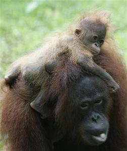 Voni, a 12-year-old orang-utan, plays with Zico, her 3-month-old male baby, in Jakarta's Ragunan zoo in this March 12, 2008 file photo. REUTERS/Dadang Tri/Files