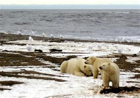 A polar bear sow and two cubs are seen on the Beaufort Sea coast within the 1002 Area of the Arctic National Wildlife Refuge in this undated handout photograph provided by the U.S. Fish and Wildlife Service. The state of Alaska has sued the U.S. government, arguing that listing polar bears as a threatened species will hurt Alaskan oil and gas exploration, fisheries and tourism. REUTERS/U.S. Fish and Wildlife Service/Handout