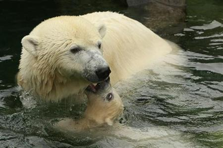 Polar bear cub Wilbaer plays with his mother Corinna in their enclosure at the Wilhelma zoo in Stuttgart during his first appearance April 16, 2008. REUTERS/Alex Grimm