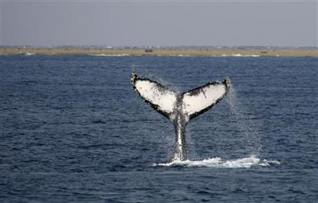 A humpback whale performs a tail slap on the surface of the water off the shore of the southern Japanese island of Okinawa March 8, 2008. REUTERS/Issei Kato