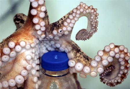 8月14日、欧州を中心に水族館を展開するシー・ライフはタコの「足」のうち6本は腕で2本が脚だとの研究結果を発表。写真のタコは昨年5月、ニュージーランドの水族館で(2008年 ロイター/John Cowpland)