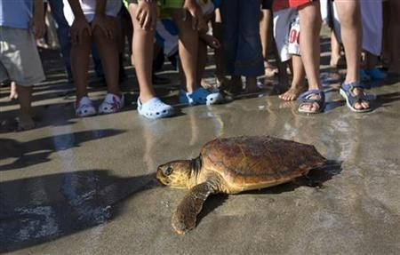 A loggerhead sea turtle crawls to the sea after being treated for injuries at the Las Vistas beach in the Spanish Canary Island of Tenerife, June 22, 2008. REUTERS/Santiago Ferrero