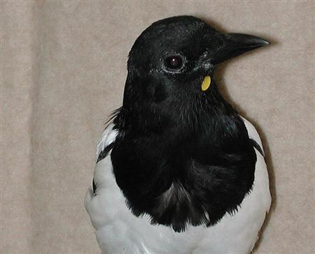 A magpie with yellow mark used in a mirror self-recognition experiment. Magpies can recognize themselves in a mirror, highlighting the mental skills of some birds and confounding the notion that self-awareness is the exclusive preserve of humans and a few higher mammals. REUTERS/Institute of Psychology, Goethe University, Frankfurt/Handout