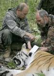 <p>La première chaîne de télévision russe a rapporté dimanche que Vladimir Poutine avait sauvé une de ses équipes de reportage des griffes d'un tigre de Sibérie. L'ancien président devenu Premier ministre effectuait une visite dans un parc national de l'Extrême Orient russe accompagné d'un groupe de spécialistes de la vie sauvage quand un tigre s'est échappé et a couru vers l'équipe de journalistes. Poutine aurait alors rapidement tiré sur le fauve une fléchette de tranquillisant. /Photo prise le 31 août 2008/REUTERS/RIA Novosti/Kremlin/Alexei Druzhinin</p>