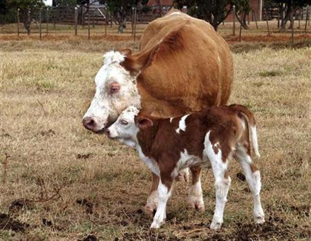 Gloria, the first calf born to a cloned cow, Vitoria (L), is seen on a government farm outside Brasilia in this October 4, 2004 file photo. REUTERS/Jamil Bittar/Files