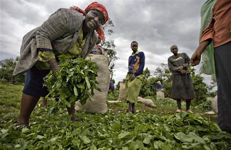 Women who farm on disputed land at the Mau forest gather wild vegetables to transport to local markets August 26, 2008. A familiar Kenyan saga of corruption, illegal landgrabbing and the use of state resources to buy electoral votes has destroyed a quarter of the 400,000 hectare forest in the last decade with an impact that could be felt as far away as Egypt. REUTERS/Finbarr O'Reilly