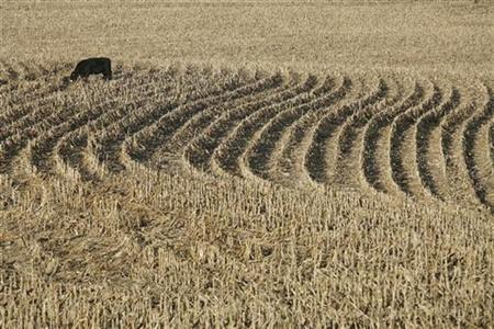 A cow grazes in the harvested corn fields outside Iowa City, Iowa, November 14, 2007. REUTERS/Shannon Stapleton