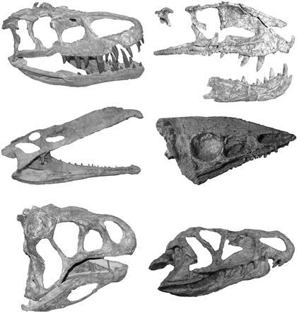 This images provides a montage of the skulls of several reptiles known as crurotarsans -- cousins of today's crocodiles -- that were the main competitors of dinosaurs from 230 to 200 million years ago during the late Triassic period. Thanks to a big stroke of luck 200 million years ago, dinosaurs beat out a fearsome group of creatures competing for the right to rule the Earth, scientists said on September 11, 2008. REUTERS/Stephen Brusatte/Columbia University/Handout