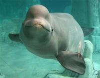 <p>Yulka, a beluga whale, swims at the Oceanografic in Valencia August 11, 2006. REUTERS/Heino Kalis</p>