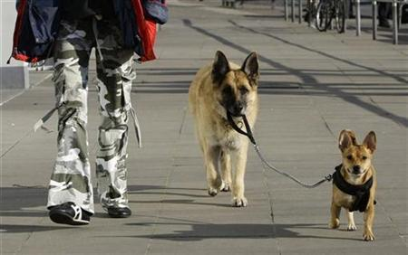 Twelve-year-old German shepherd dog 'Gina' carries the leash of two-year-old Kitty during a walk with their owner in Hamburg in this file photo from February 11, 2008. REUTERS/Christian Charisius