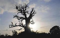 <p>Un baobab REUTERS/Ricci Shyrock</p>
