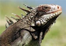 <p>An iguana in a file photo. REUTERS/Jorge Silva</p>
