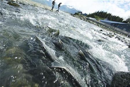 Tourists can be seen looking at thousands of pink salmon swimming upstream to spawn in Valdez, Alaska on August 8, 2008. REUTERS/Lucas Jackson