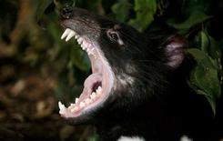 <p>An adult male Tasmanian Devil named Tex stretches his jaws open in his enclosure at Sydney's Taronga Zoo October 17, 2008. Taronga Zoo announced a new fundraising campaign for the Tasmanian Devil breeding program on Friday, as authorities campaign to save the world's largest carnivorous marsupial from extinction from a rare transmission cancer called Devil Facial Tumour Disease. REUTERS/Tim Wimborne</p>