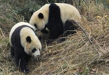 <p>Две гигантские панды Туань Туань (сзади) и Юань Юань в специализированном зооцентре в провинции Сычуань 22 декабря 2008 года. Две гигантские панды с багажом из китайских хлебцев, свежего бамбука и запаса таблеток от укачивания готовятся во вторник совершить перелет из китайского города Чэнду на Тайвань самолетом, специально прибывшим за ними с острова в понедельник. REUTERS/China Daily</p>