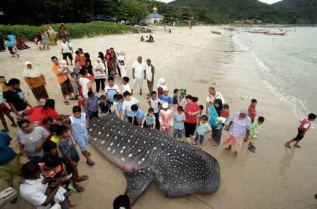 1月2日、マレーシアの漁村で体長6.8メートルのジンベエザメの死がいを撮影(2009年 ロイター/ベルナマ通信)
