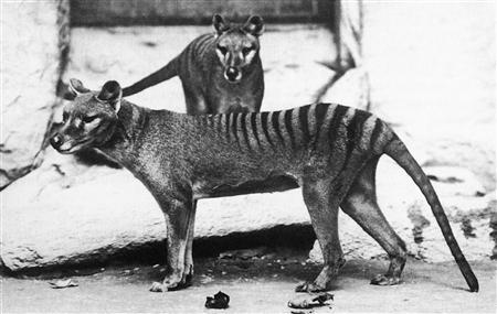 This handout photo shows two thylacinus in Washington D.C.'s National Zoo, c. 1906. REUTERS/Smithsonian Institution archives/E.J. Keller/Handout