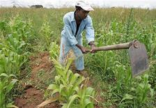 <p>Zimbabwean Herbert Nyahanana digs out weeds in a maize field on the outskirts of the capital Harare, February 21, 2006. REUTERS/Howard Burditt</p>