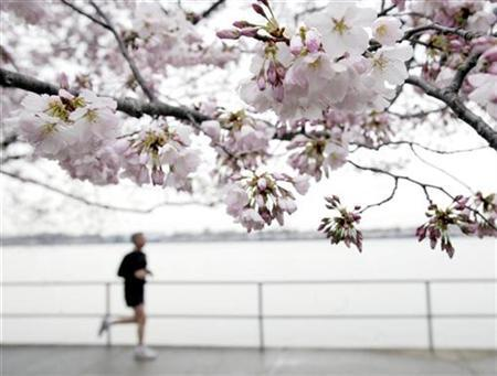 A jogger runs by cherry blossom trees along the Tidal Basin in Washington, March 27, 2008. REUTERS/Yuri Gripas