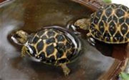 Star-patterned tortoises swim at a zoological park in the southern Indian city of Hyderabad July 4, 2007. REUTERS/Krishnendu Halder