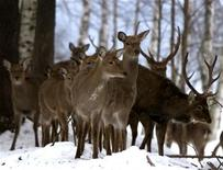 <p>A herd of deer stand in Losiny Ostrov national park in a file photo. REUTERS/Viktor Korotayev</p>