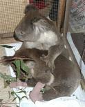 <p>Un koala llamado Bob abraza a su nueva amiga Sam mientras se recuperan de quemaduras cerca de Melbourne, 11 feb 2009. Una historia de amor entre dos koalas que fueron rescatados de los mortíferos incendios de Australia con quemaduras severas conmovió a la nación tras días de devastación y la pérdida de más de 180 vidas. La historia de Sam y su nuevo novio Bob salió a la luz después de que el bombero voluntario Dave Tree usara un teléfono móvil para filmar el rescate de la desconcertada y asustada osa, hallada quemada en un bosque incendiado en Mirboo North, a 150 kilómetros al sureste de Melbourne. REUTERS/Southern Ash Wildlife Centre/Colleen Wood (AUSTRALIA)</p>