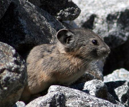 An American pika is seen here in this undated handout photo. The U.S. government has agreed to study whether the American pika, a tiny cold-loving relative of the rabbit, should be protected under the Endangered Species Act due to warmer temperatures, scientists said on Thursday. REUTERS/Earthjustice/Handout