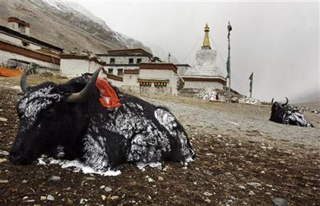 Snow-covered yaks rest outside the Rongbo Monastery at the foot of Mount Everest in this file photo dated May 3, 2008. REUTERS/David Gray