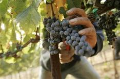<p>A worker pick grapes at a vineyard at Napa Valley winery Cakebread Cellars, during the wine harvest season in Rutherford, California in this file photo from September 12, 2008. REUTERS/Robert Galbraith</p>
