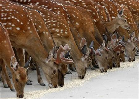 Spotted deer line up to eat at a zoo in Taiyuan, central China's Shanxi province June 27, 2007. REUTERS/China Daily