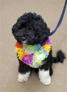 Bo, a six-month old male Portuguese water dog, is seen in this White House photograph released April 12, 2009. REUTERS/Pete Souza-The White House/Handout