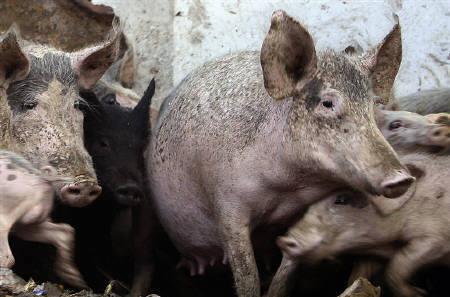 4月29日、エジプト政府は国内で飼育されている豚30万─40万頭すべてを殺処分にすることを決定。写真はカイロの農場で飼育される豚(2009年 ロイター/Asmaa Waguih)