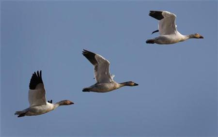 Geese in flight in a file photo. REUTERS/Mathieu Belanger