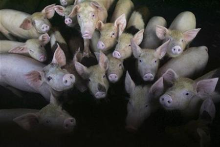 Pigs wait for their food in a farm in Makassar April 29, 2009. REUTERS/Yusuf Ahmad