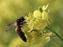 <p>A bee collects nectar in a mustard flower at Sitgram village, about 185 km (115 miles) south from the northeastern Indian city of Siliguri November 22, 2008. REUTERS/Rupak De Chowdhuri</p>