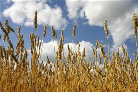 Canadian wheat grows in a field near Teulon, Manitiba, July 26, 2006. REUTERS/Shaun Best