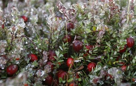Frosted organic cranberries are seen at Canneberges Quebec farm in St-Louis-de-Blandford October 17, 2007. REUTERS / Mathieu Belanger