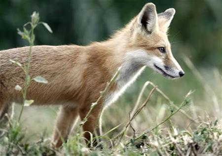 A fox looks for food along the edge of a farmer's field in a file photo. REUTERS/Andy Clark