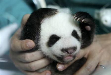 7月2日、チェンマイ動物園で誕生したパンダの赤ちゃんが生後35日を迎えた(2009年 ロイター/Phichaiyong Mayerku)