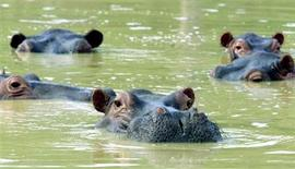 <p>Hippopotames dans le ranch de l'ex-baron de la drogue colombien Pablo Escobar, à Puerto Triunfo. Jugeant l'animal dangereux pour la population, les autorités colombiennes ont fait abattre un hippopotame mâle en fuite, qui a ainsi connu une fin similaire à celle de son ancien propriétaire. La femelle et l'éventuel petit sont toujours recherchés. /Photo prise le 10 décembre 2002/REUTERS</p>